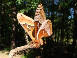 Tulip-tree Silkmoth by WaveHello