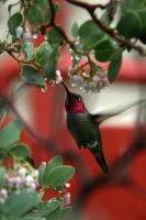 Hummingbird 1 by James-T-Anthony