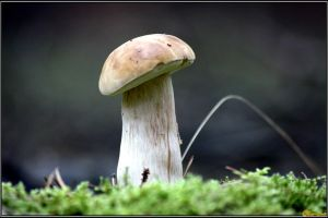 The Perfect Boletus by Clu-art