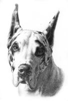 Portrait  of a Great Dane by AGillustration