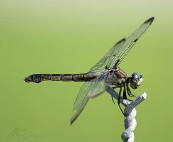 Dragonfly x by Gooiool