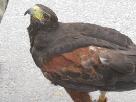 Harris' Hawk on Ground 07 by Stock-of-Rao