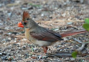 Female Cardinal 6-16-11 by Tailgun2009