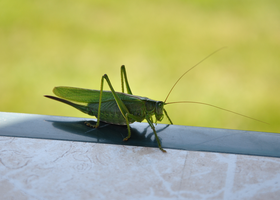 Grasshopper by karlvandal-stock