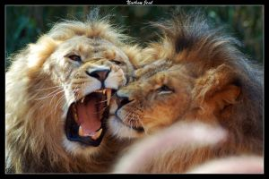 Lions love 2 by zwabbe15