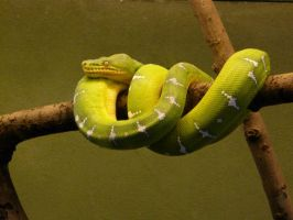 Green Tree Boa 01 by Unseelie-Stock