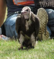 Ye Olde Redtail Falconry - Archie The Vulture by Candyfloss-Unicorn