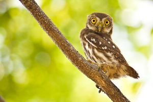 Furrugineus pigmy owl by SkylightPhtgrphy