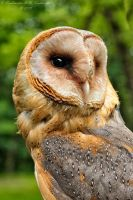 Barn owl by Dark-Raptor