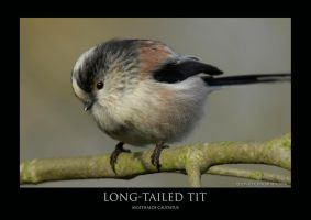 Long-tailed tit.1 by THEDOC4