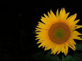 Sunflower by Azagh