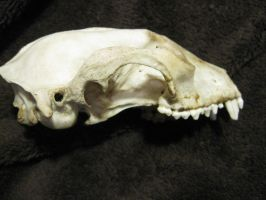 Raccoon Skull side by TheNewCoyote