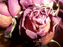 wilted valentines roses by Scilent-Toaster