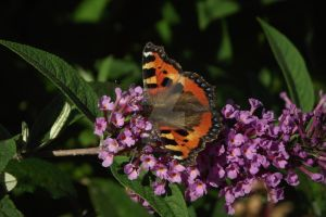 Small tortoiseshell butterfly by BlizzardFace