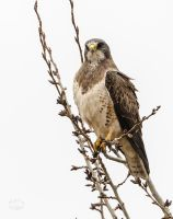 Swainson's Hawk - Perched by JestePhotography