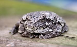 Gray Tree Frog by cindy1701d