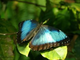 Blue Morpho Butterfly by TheTellerofStories