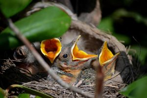 Feed Us, Baby Robins 1 Week by wagn18