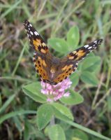 Painted Lady Butterfly by captpackrat