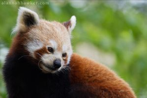 Red Panda 04 by Alannah-Hawker
