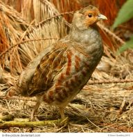Gray Partridge by In-the-picture