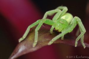 Micrommata virescens II by Dark-Raptor