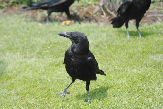 A Crow by Child-of-Minerva