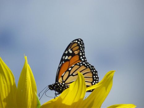butterfly chased... by Gravelingus