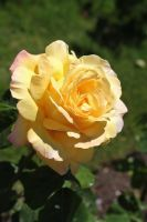 Yellow Rose by MeGreedy