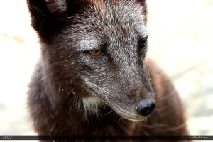 Arctic Fox 11 by Canisography