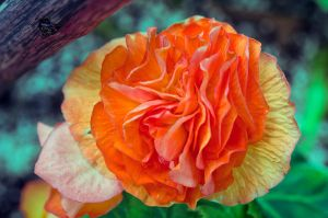 Double Begonia by PennyJarr37