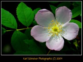 Wild Rose 3 by KSPhotographic