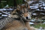 Timber Wolf 15 by bluesgrass