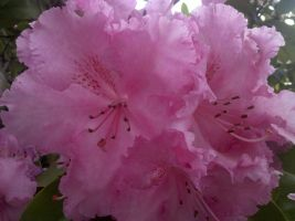 Pink Rhododendrons by SachiyeKazumi