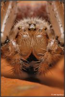 Araneus quadratus II by Dark-Raptor