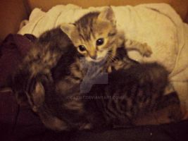 Foster kittens. by Catist