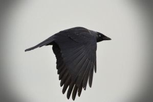 B and W Jackdaw by Debs-Rain