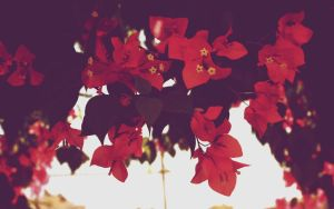 Bougainvillea by CourageMyLove