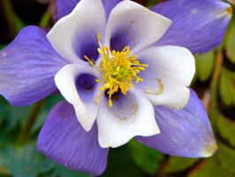 Purple Columbine by cokebottleglasses