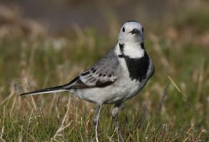 White wagtail by Suppi-lu-liuma