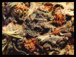 The flavor of trichomes by BrainQuest