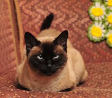 Siamese stock by JSF1