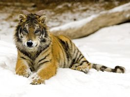 Wolf or Tiger or else... by NathalieNova
