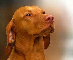 Luca the hungarian vizsla by tyyneys