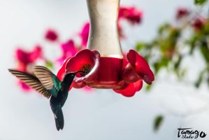 humming-bird by StudioTamago