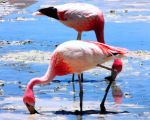 Salar de Uyuni, Bolivian Salt Flats Flamingo by Guppy0031