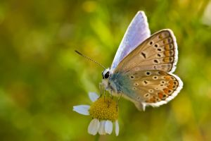 Common Blue II by dalantech