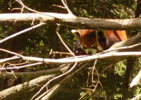 How cute are Red Pandas by jessijoke