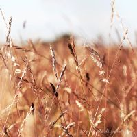 Among The Fields Of Gold by Zorg-One-One
