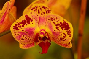 Orchid 55 by PatGoltz